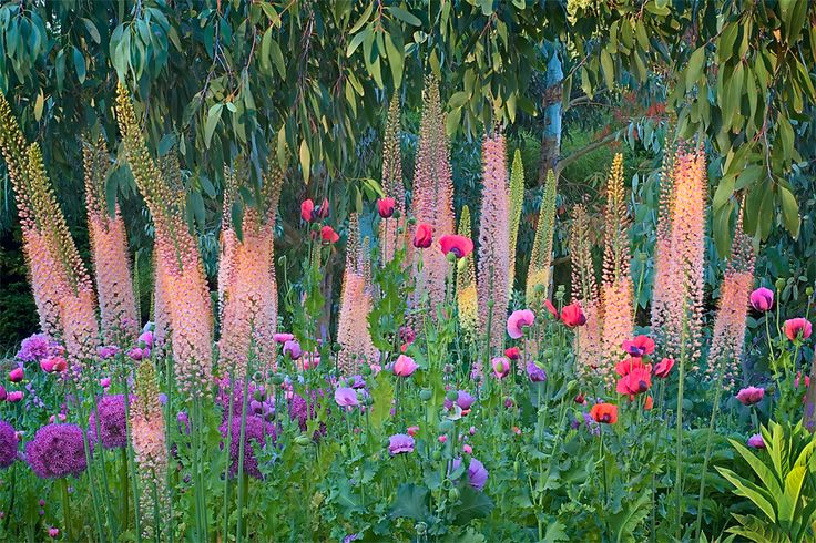 Linda Cochran's Garden - eremurus (foxtail lilies), alliums, opium poppies and eucalyptus