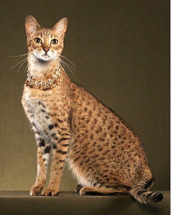 Savannah cat - 26 Pics
