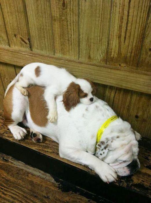 Милые  спящие щенки
