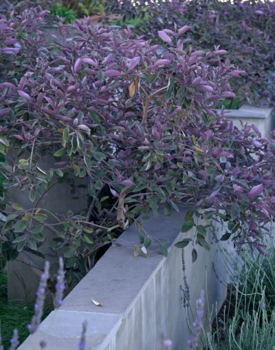 Arabian Lilac...can thrive in clay soil. you can train it as a medium sized shrub (~4′ tall and wide) or let it be a larger shrub (~6′ to 8′ tall) or train it into a perfect tiny tree.