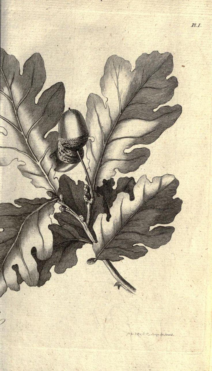 Oak Leaf And Acorn Drawing Best 25+ Oak leaves id...