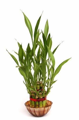 Bambu da sorte - nome cientifico: Dracaena sanderiana. O bambu da sorte, na verdade, não é um bambu e sim uma espécie de dracena. Sua reprodução é por estaquia e pode-se deixar o broto na água até que as raízes se formem. É uma planta que precisa de boa iluminação, mas não tolera luz solar direta. Em jardins, pode chegar até 1,5 m de altura. As regas devem ser frequentes, pois a variedade prefere solo úmido, mas não encharcado. Em caso de cultivo hidropônico, em vasos decorativos, troque a…