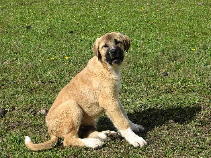 Un simpático y perezoso cachorro de mastín no quería salir en la foto por lo que hubo que llamarlo insistentemente para que mirara hacia la cámara. Se hallaba junto a su madre aprendiendo a cuidar unas ovejas en los llanos de Arroyo de la Luz.