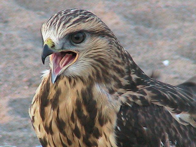 Photo : Faucon pélerin,  Animaux, Oiseaux, Canada, Inukjuak. Toutes les photos de David Rouault sur L'Internaute