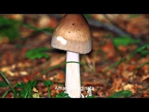 Funghi... Buoni...Velenosi e Forse un pò Magici... - YouTube