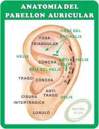Resultado de imagem para anatomia auricular