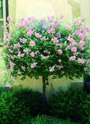 Japanese Lilac Tree. I have one of these in my flower bed. I bought it last year and I can not wait to see it bloom this spring.