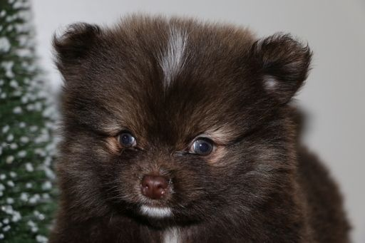 Pom-Shi puppy for sale in GOSHEN, IN  ADN-61767 on