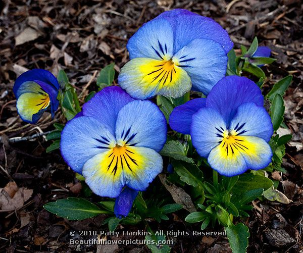 Pansies Blue And Yellow Pansies 2010 Patty Hankins Flowers