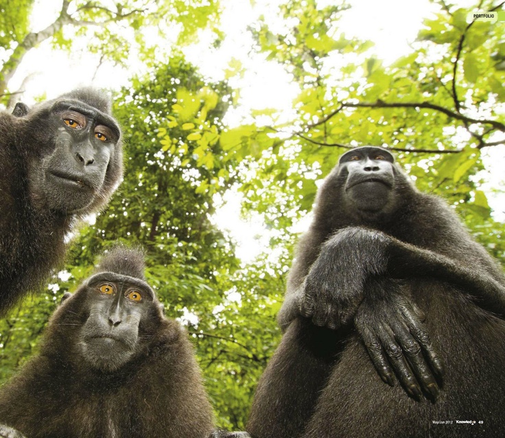 Crested Black Macaques. BBC Knowledge, May-Jun-12