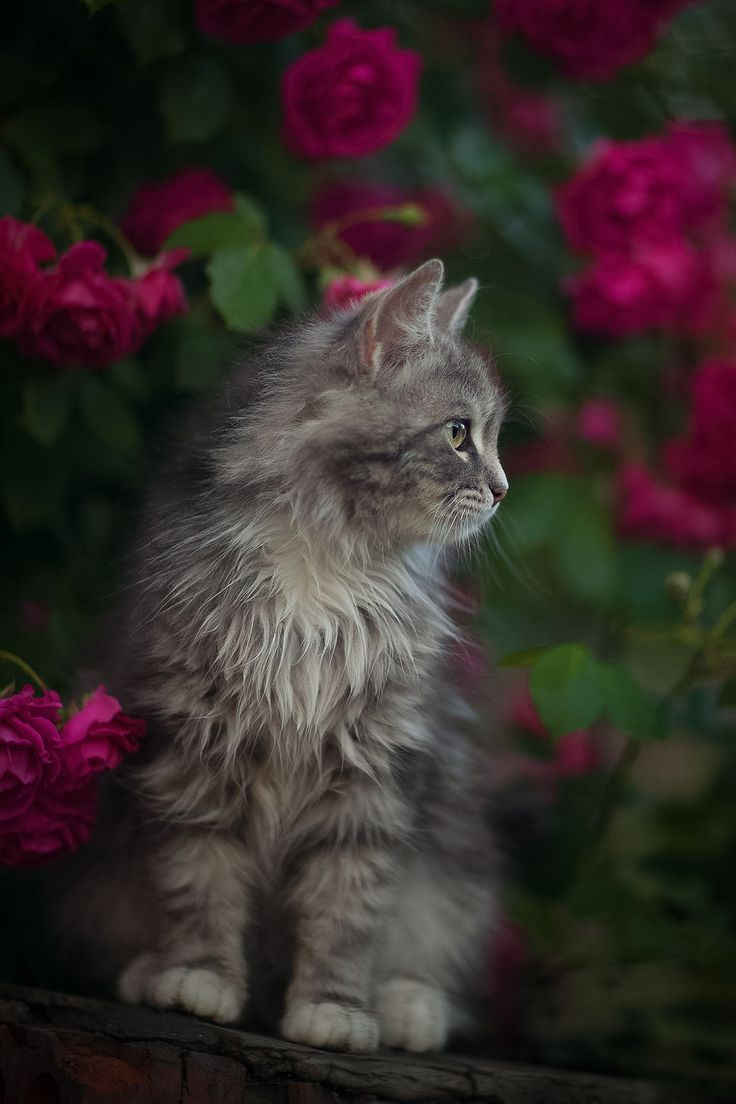 17 Best ideas about Grey Cats on Pinterest | Blue cats ...