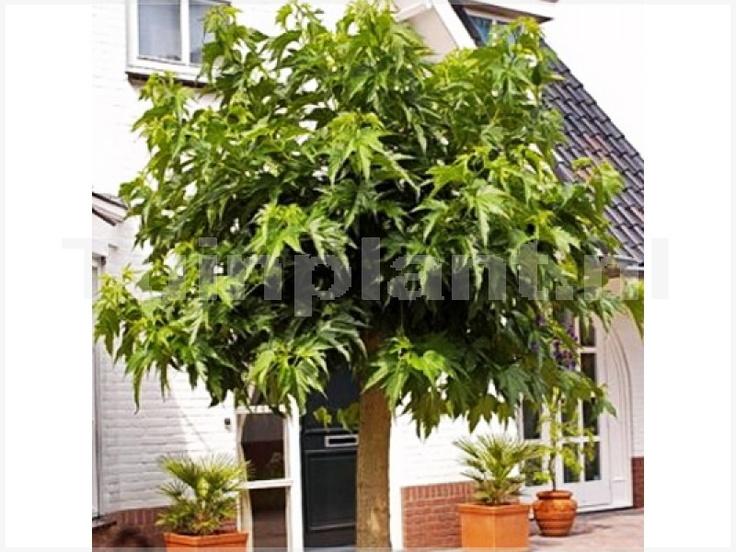 Morus alba 'Macrophylla' (Moerbei), ouderwetse boom met fraai, groot blad (kan als dakboom gesnoeid worden)