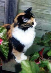 [photo, Calico cat, Annapolis, Maryland] Rags not pictured but  we had a sweet rescue cat given to us as a kitten.  Her name was Rags as the person who found her thought that she was a pile of dirty rags......