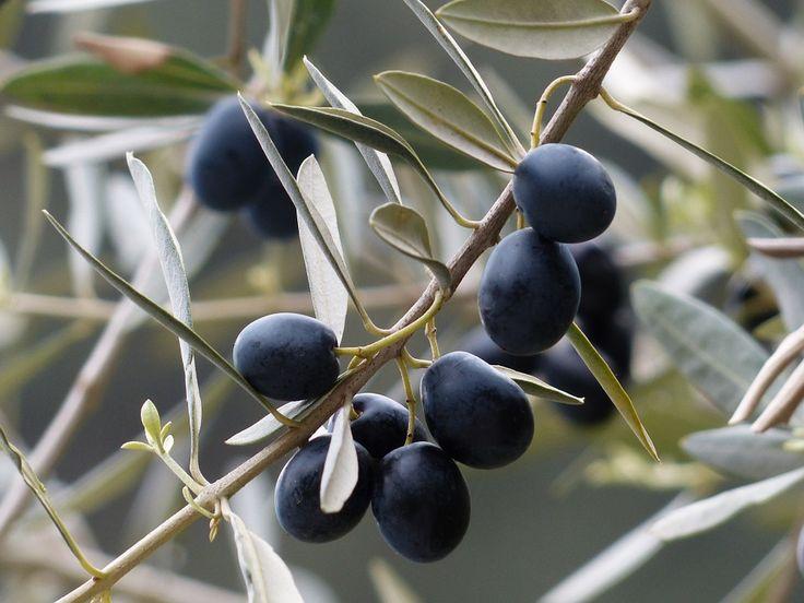 Оливки, Оливковая Ветвь, Фруктов, Оливковое Дерево