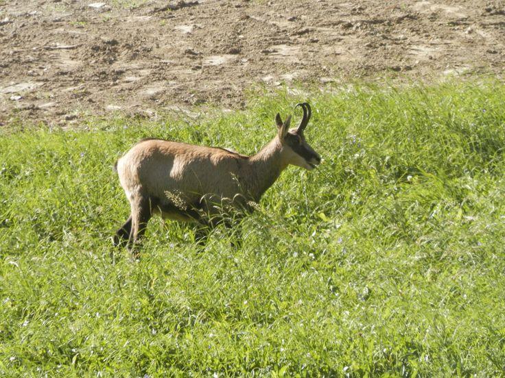 deer in #cogne