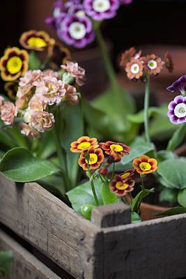 Auriculas in a wooden crate