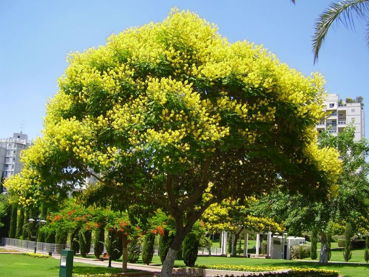 Peltophorum africanum (African Weeping wattle) - The tree is fast growing and drought resistant, but is frost tender for the first three years.