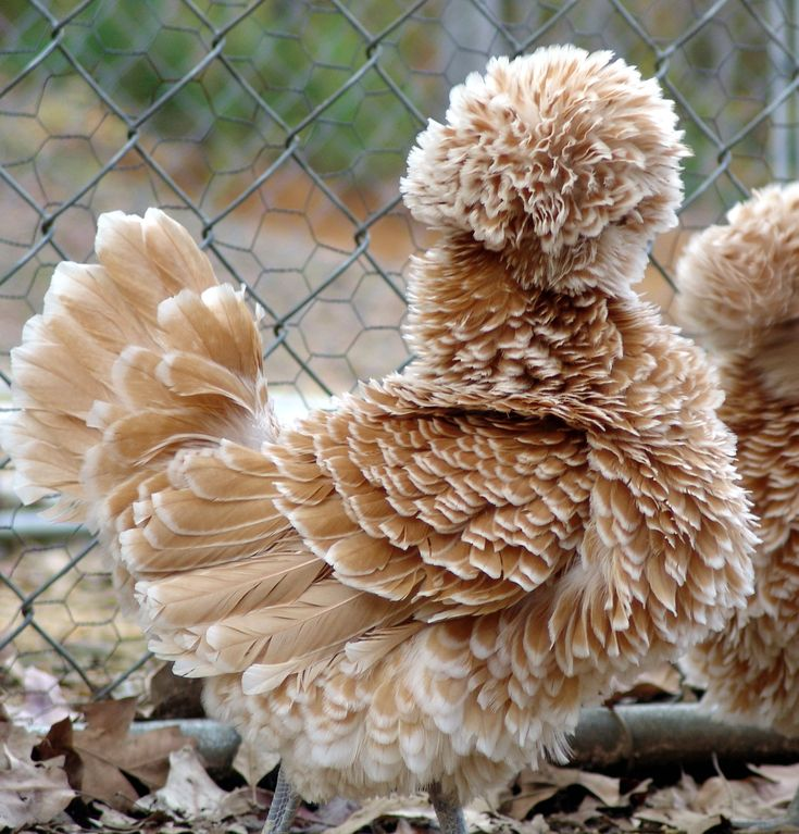 Buff Laced Frizzle Chicken