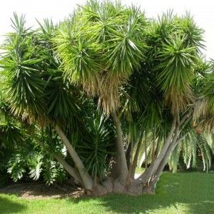 yucca.  Want to cut all of the lower yucca