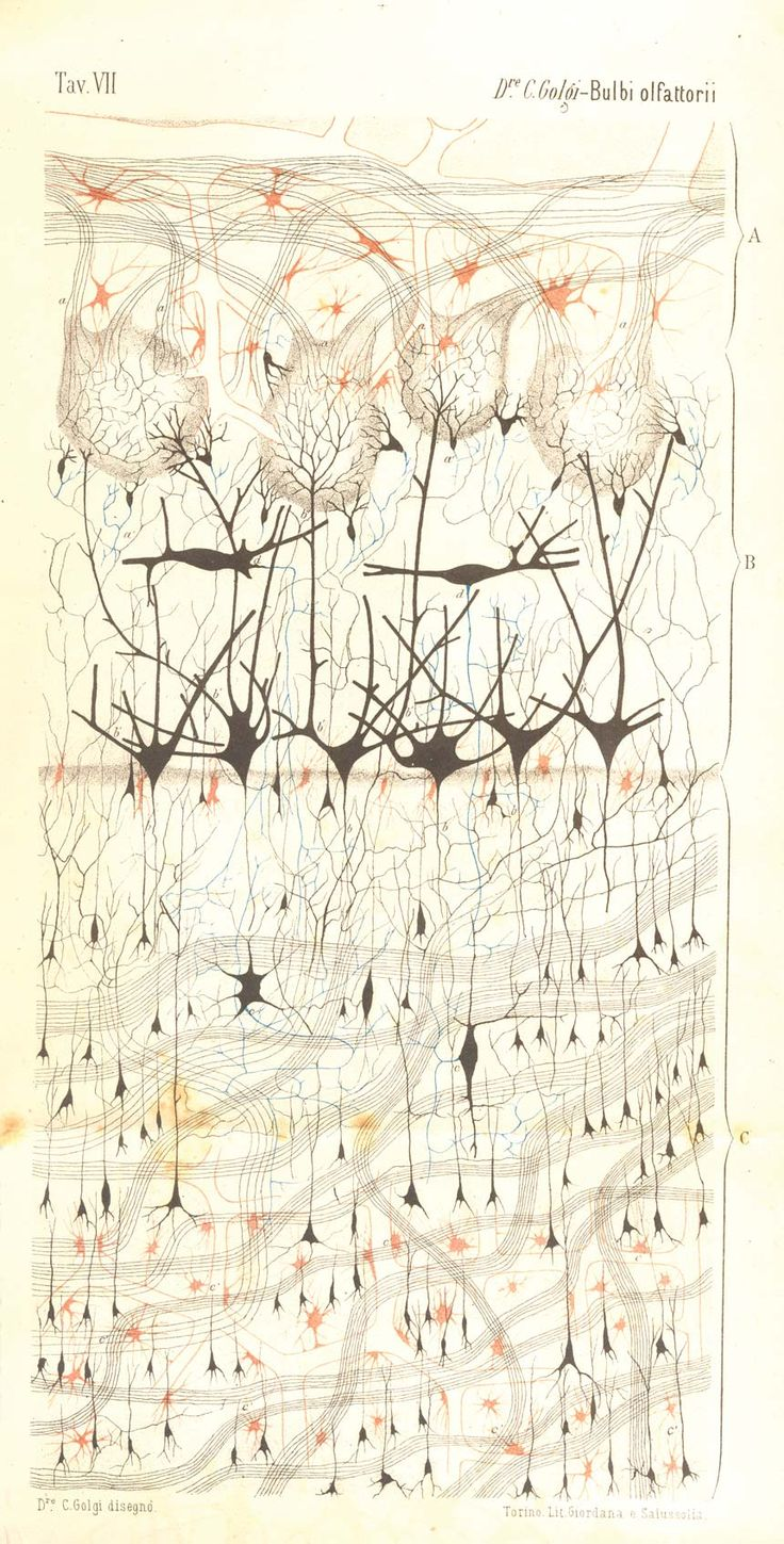 The First Neuron Drawings (c1870)