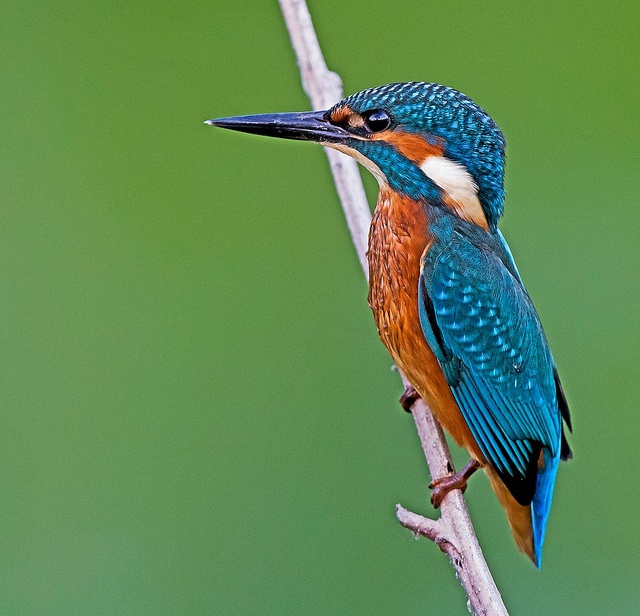 color perfection.....martin pescatore, kingfisher by margit-luitpold2005, via Flickr