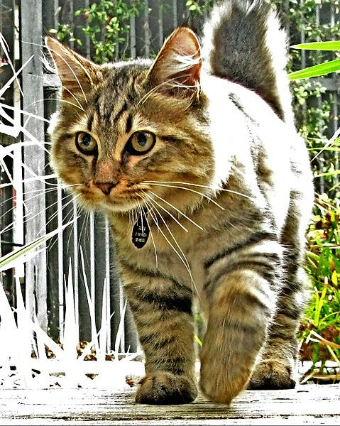 American Bobtail Cat Breed   ....   Bob and I have an American Bobtail Cat and she is a gem  ...   very addicting cat to be owned by.