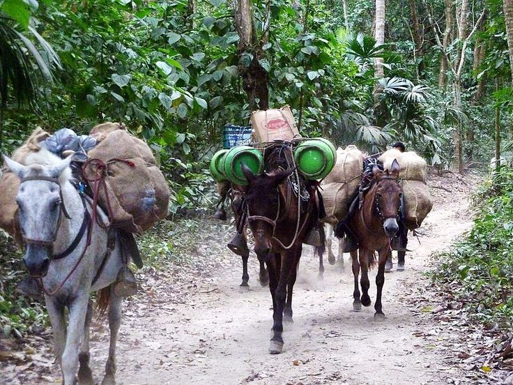 Donkeys bring supplies through the jungle to a camp outpost in Tayrona National Natural Park in northern Colombia