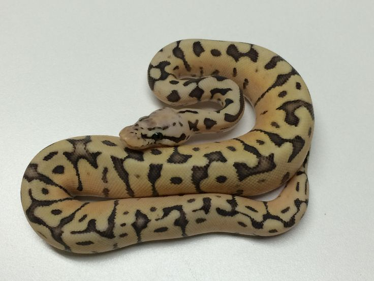 Killerbee Ball Python for Sale - xyzReptiles