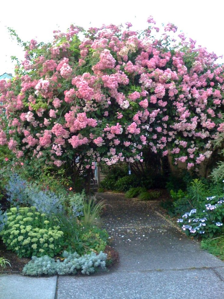I once parked my car to visit a private garden that was open for public that weekend. All I had to do was follow the smell of the Himalayan Musk Rambler Rose to find the garden. This particular one climbed over walls, trees and a roof. Beautiful!