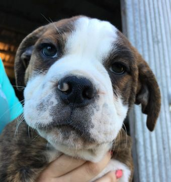 Litter of 9 Olde English Bulldogge puppies for sale in CANYON LAKE, TX. ADN-27225 on PuppyFinder.com Gender: Male. Age: 14 Weeks Old