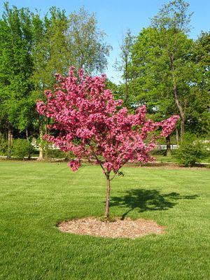 the 25+ best arbre a fleur rose ideas on pinterest | plantes à