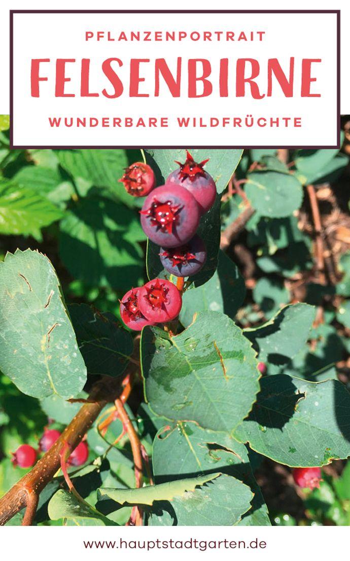 Great Herbstzeit ist Pflanzzeit Die beste Gelegenheit eine Felsenbirne das geheime Superfood im Garten