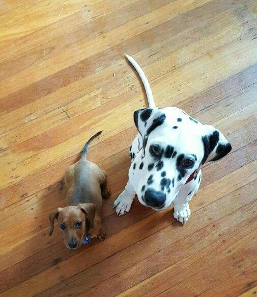 Friends.... mini dachshund
