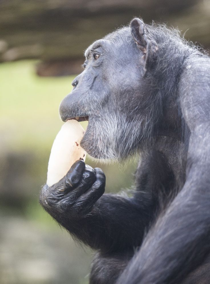 Visitors weren't the only ones enjoying ice blocks on Friday, as temperatures climbed to over 40 degrees in Sydney. Our Chimpanzees are well adapted to hot weather, but keepers prepared some special frozen treats to help keep them cool throughout the day. Photo by Rick Stevens