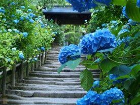 明月院の撮影名所、山門と鎌倉石の石段。すり減った石段が古刹の歴史を感じさせ、紫陽花(あじさい)の景色を一層引き立てる。