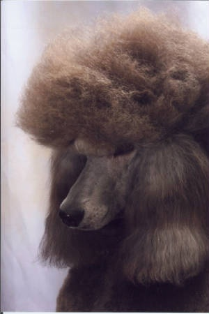Avalon Standard PoodlesStandard Poodles, Avalon Standards, Standards Poodles, Dogs, Avalon Chocolates, Chocolates Standards Someday, Beautiful Face, Beautiful Girls, Animal