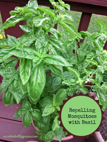 Basil repels mosquitoes. I'll be planting a lot of it this year!