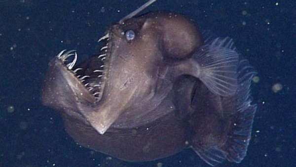 Científicos del Instituto Investigación del Acuario de la Bahía de Monterey (MBARI) en California están convencidos de que que el pez abisal, conocido como 'pez diablo negro', que capturaron en vídeo,...