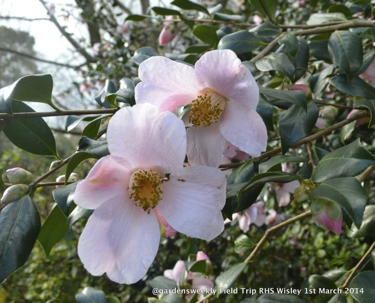 The beauty of the single form Camellia coupled with the subtlety of the soft petal tones