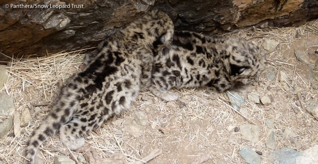 Leopard videos snow leopard mother and cubs dens recorded mongolia