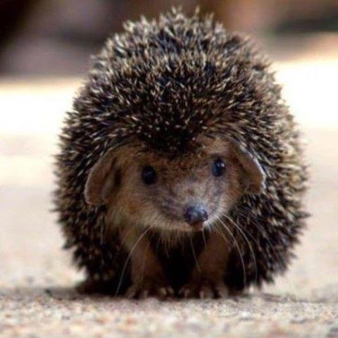 Adorable #hedgehog