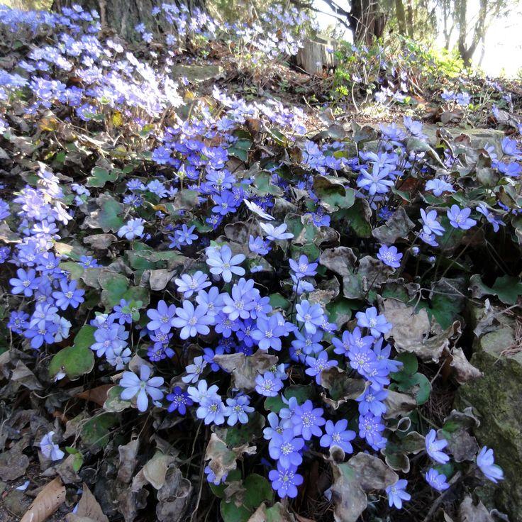 Das Leberblümchen (Hepatica nobilis) ist der schönste heimische Frühlingsbote und auch unter den Exoten reichen nur wenige an sie heran.