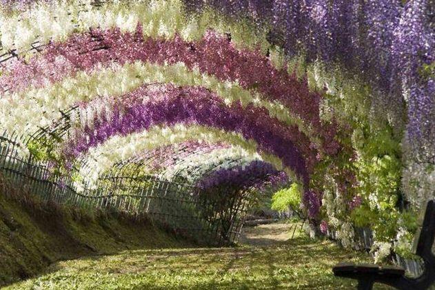 Kawachi Fuji, le tunnel de glycines : 50 lieux exceptionnels que vous n'avez jamais vus - Linternaute.com Voyager