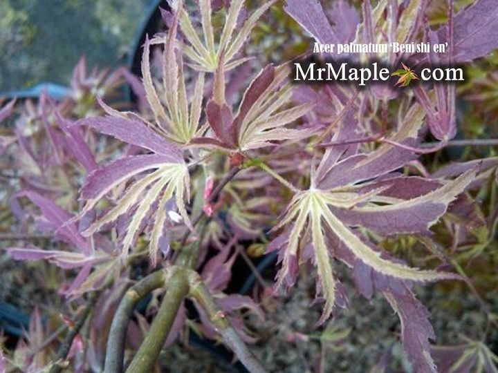 Check out this heat tolerant variegated Japanese maple! Acer palmatum Beni shi en is a pretty Japanese maple  that is vigorous with amazing colors. This tree is available by mail-order at MrMaple.com