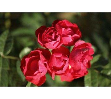 Orange Morsdag is een doorbloeiende roos met licht oranjerode bloemen.