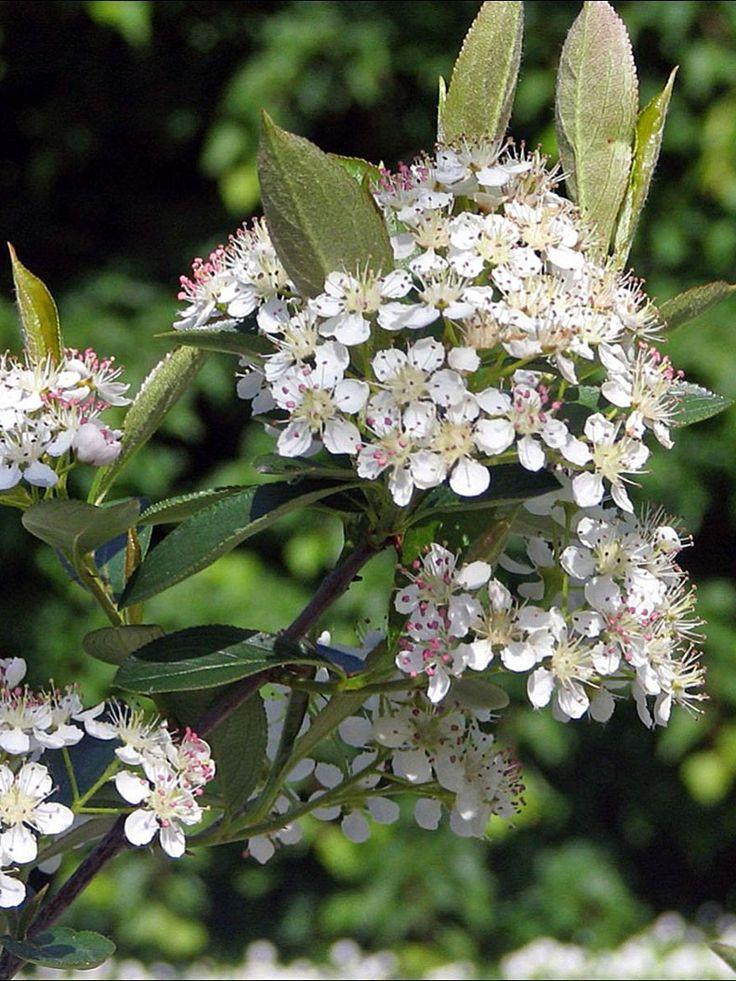 Liten Svartaronia, Aronia melanocarpa 'Hugin' | Som fullvuxen 1–1,5 meter hög buske. Upprätt växtsätt. Lägre och kompaktare än den rena arten. Går att hålla mer kompakt och lägre om den klipps. Vita blommor maj-juni. Svarta ätliga bär i klasar. Som klippt häck blir blomningen och fruktsättningen mer sparsam. Frisk och härdig. Mycket fin som låg och klippt häck. Lättodlad och nyttig buske. Zon 1-4. Ej rådjursresistent.