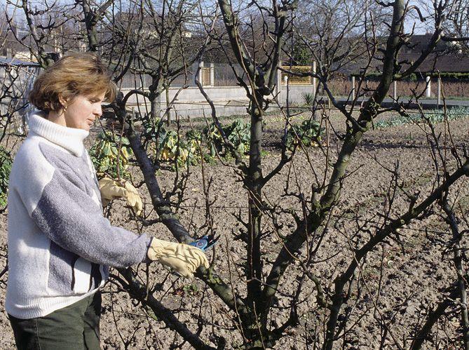 Découvrez les conseils de nos experts pour tailler vos arbres fruitiers et restaurer l'équilibre de la ramure.