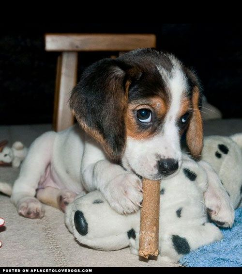 Adorable Beagle puppy with the sweetest puppy eyes playing wiff his toys