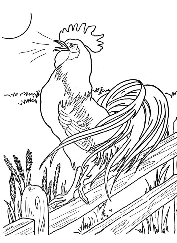 Farm animal chicken coloring page   Morning Roster at the crack of dawn