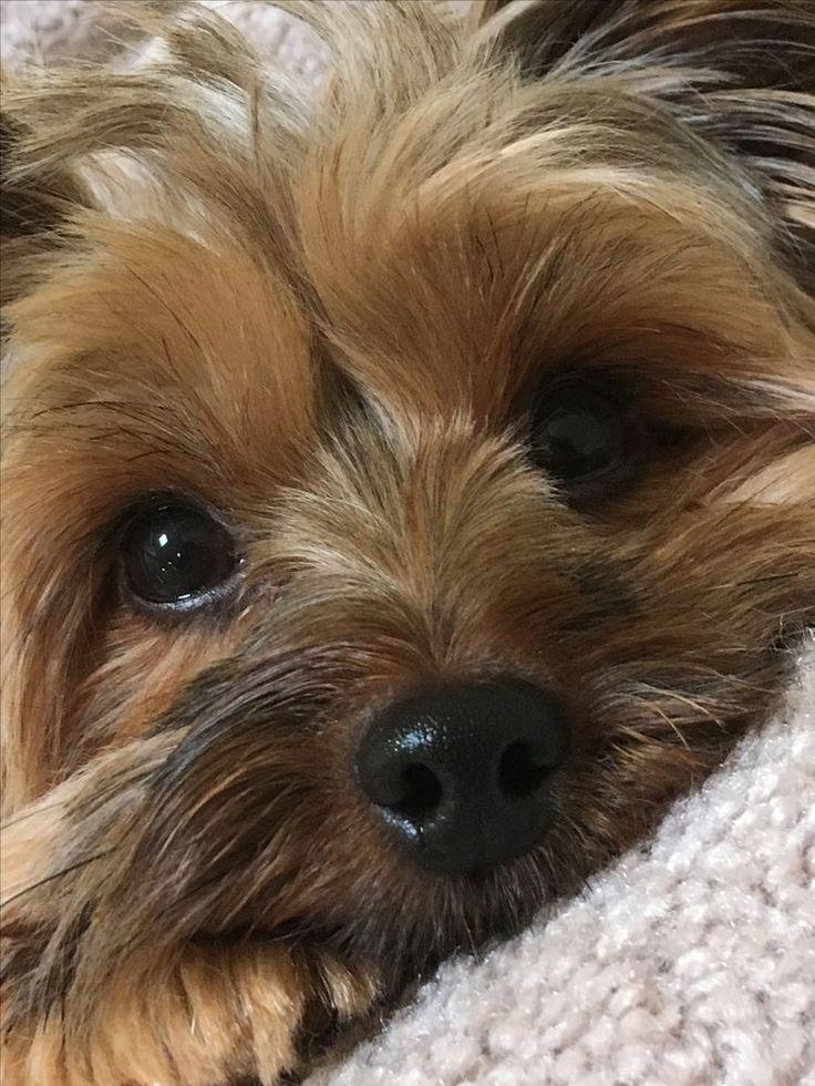 постер картинки на телефон собаки йорки мое сообщение